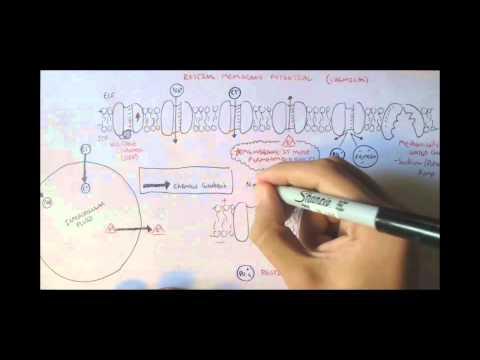 Nervous System - Resting Membrane Potential