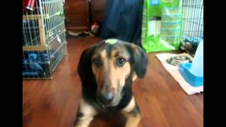 Amazing dog tricks performed by Whisper and Mystie