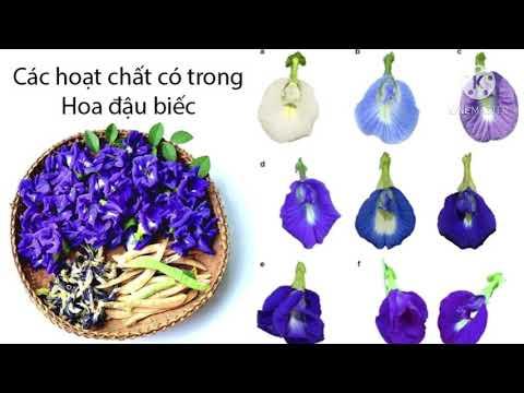 Làm đẹp da bằng hoa Đậu biếc thiên nhiên/Beauty with butterfly pea flowe/ Thanh đồng vlog