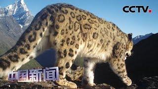 [中国新闻] 四川阿坝:四姑娘山首次拍到雪豹 | CCTV中文国际