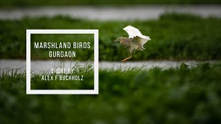 Birds in the Marshlands of Gurgaon   Sony A7R4   Wildlife Film by Alex F Buchholz