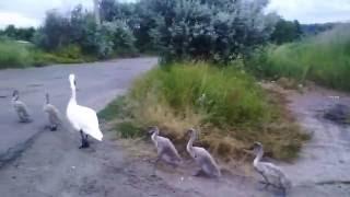Такого вы еще не видели)) Лебеди..