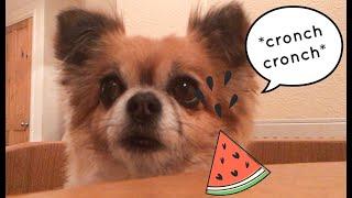 My Dog Tries ASMR!