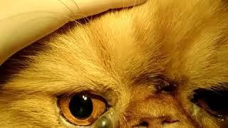 Опухоль на веке у кота