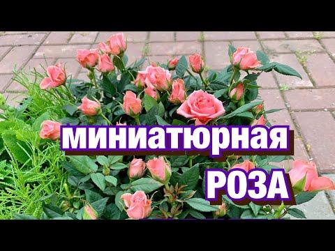 Миниатюрные розы. Роза Кордана. Роза Патио. Как сажать? Уход после посадки.