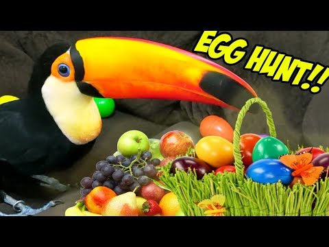 My Toucan Hunts for Fruit Filled Easter Eggs!!