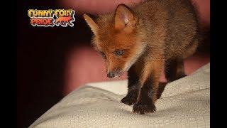 Cute Baby Fox Calling