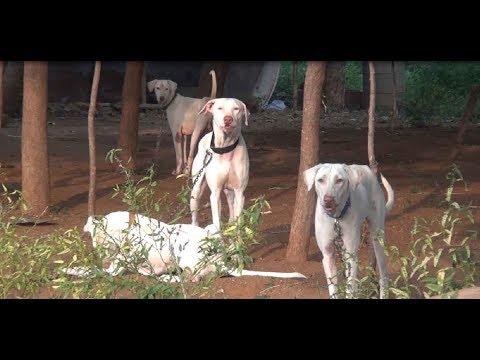 நமது பாரம்பரிய மிக்க.. தமிழ்நாடு நாய்கள் பகுதி 1    Rajapalayam, Kanni, Chippiparai, kombai dogs...