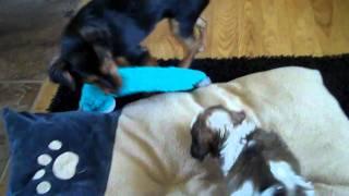 Khloe - Jack Russell Terrier & Shih Tzu Mix (jack Shiht) & Kimmy Gibbler