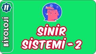 Sinir Sistemi- 2  11. Sınıf Biyoloji