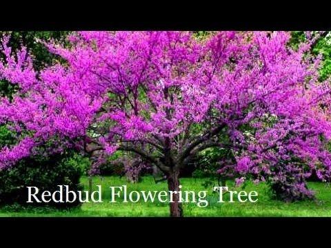 Plant Redbud Trees Correctly Red Bud Tree Ny Pa Illinois