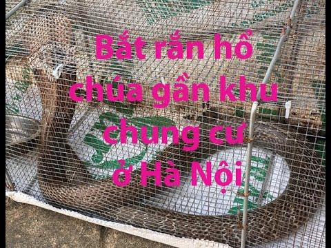 Bắt rắn hổ mang chúa ở khu chung cư Hà Nội