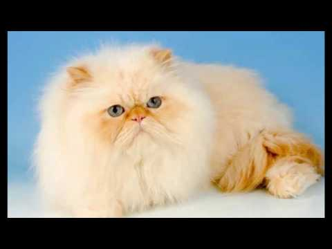 Persian Cat | History of the Iranian Expensive Cat and Kittens