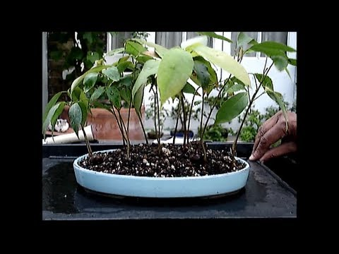 Lychee Trees a Group Planting