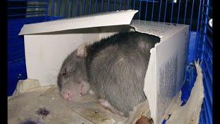 Мы взяли девочку! Декоративная крыса - Чуча-Нюша