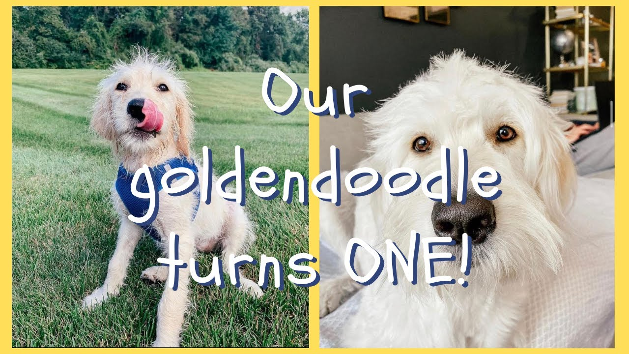 one year with our golden doodle   Taylor and Jeff