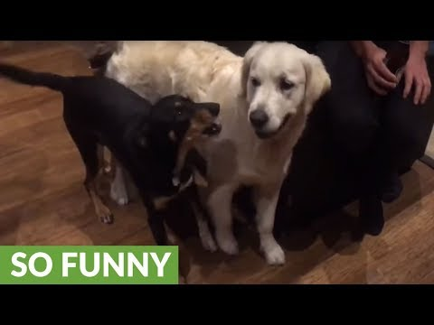 Working dog thinks Golden Retriever is sheep, tries to herd him