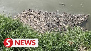 From white foam to dead fish, residents fear Sg Damansara may be contaminated