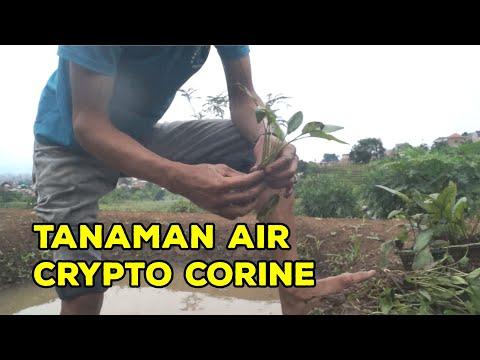 crypto-corine-tanaman-air-untuk-aquascape-||-farming-journey