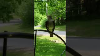 Eastern Wood Pewee outside my backdoor