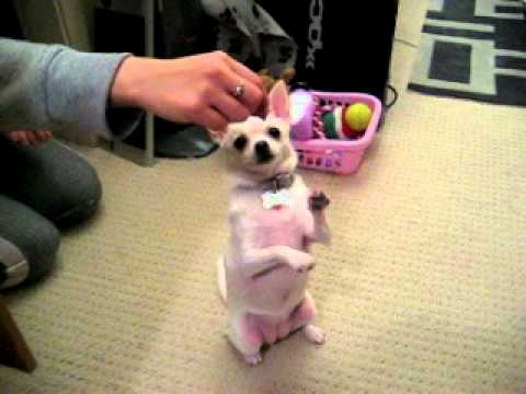 Mookie the Chihuahua Performing Her Dog Tricks