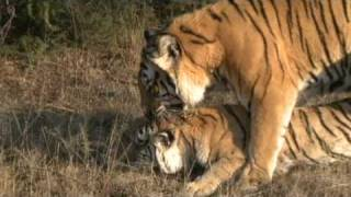 Tigers mating at Tiger Canyons.