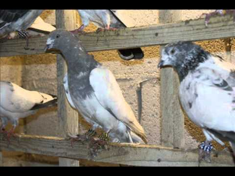 how to train new pigeons to come back home