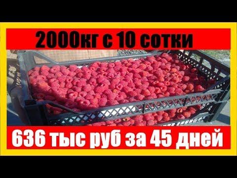 сколько можно собрать малины с 1 сотки    Малина как Бизнес    сколько малины можно собрать