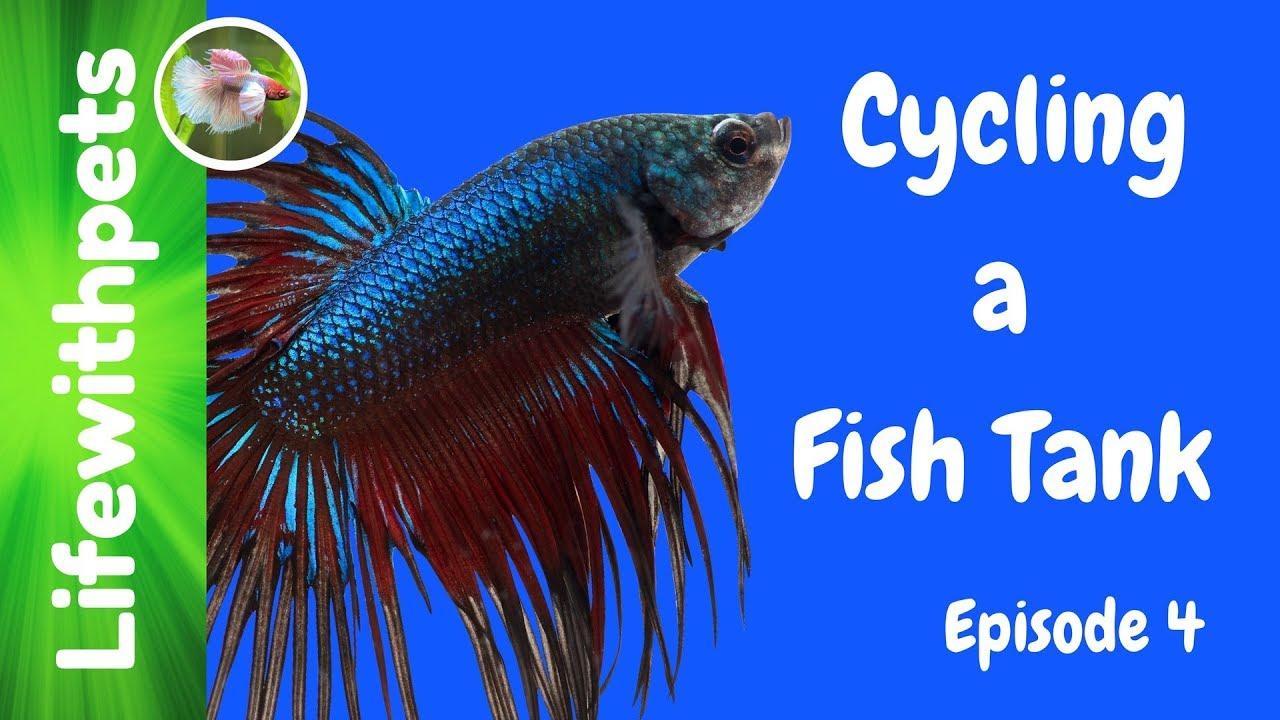Cycling a betta fish tank episode 4 youtube for How to cycle a fish tank