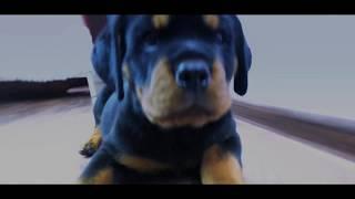 Щенок Ротвейлера первые тренировки / Rottweiler Funny Puppy Traning