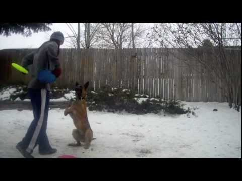 Intro to Frisbee: Flipping, Vaults, and Tricks with Belgian Malinois Carly