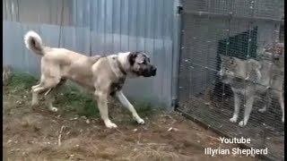 Turkish Kangal vs Wolf test