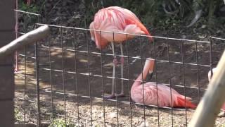 ヨーロッパフラミンゴ、チリーフラミンゴ 伊豆シャボテン動物公園に行って来ました~! 2017年3月19日 00302