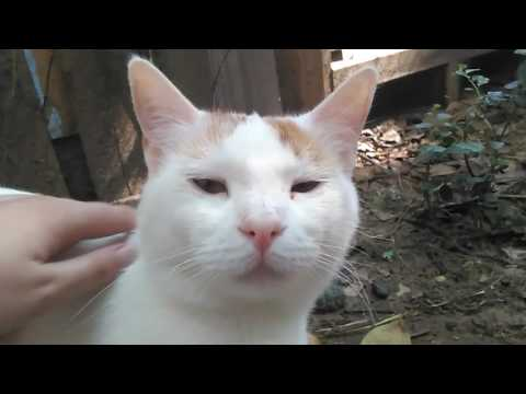 Petting cute Turkish Van mix cats :)