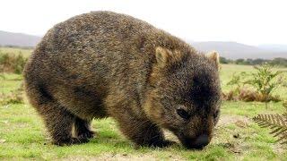 Вомбат - Wombat (Энциклопедия животных)