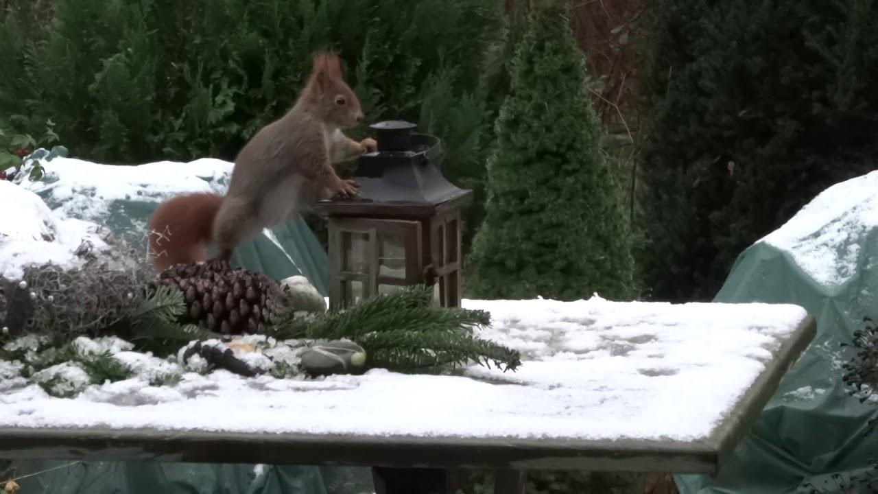 Eichhörnchen Im Garten : eichh rnchen im garten 12 2017 4 youtube ~ Watch28wear.com Haus und Dekorationen