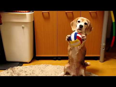 This Beagle Is Learning How To Catch