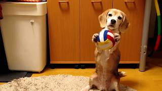 ビーグル犬プリンの「ボールキャッチに挑戦!」 Purin trying to catch ...