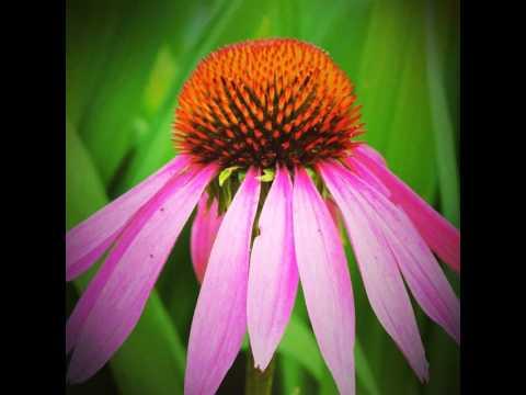 maryland s state flower flower blackeyedsusan maryland awesome