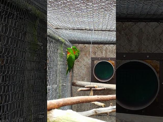 Psittacara rubritorquis aviary