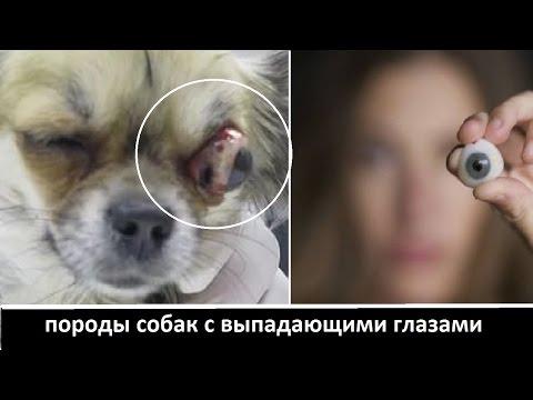 Как у собак выпадают глаза