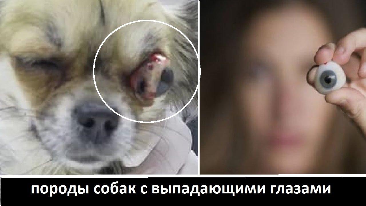 Узнайте больше о породе собак померанский шпиц. Описание. Голова среднего размера, переход ото лба к мордочке четко выражен. Лоб круглый.