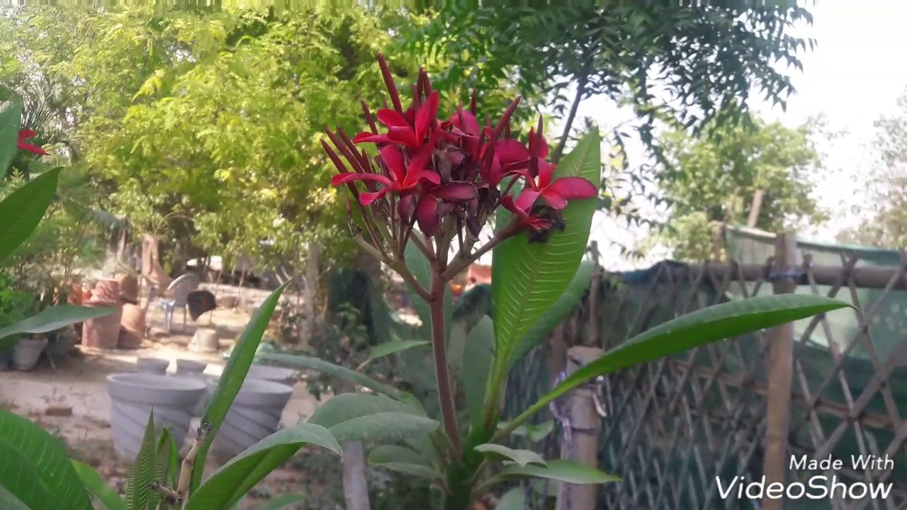 Care Red Champa Flower Plant Hindi Youtube