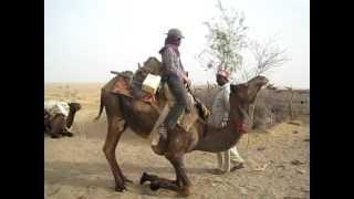 Camel sitting down (Jaisalmer, Rajasthan, India)