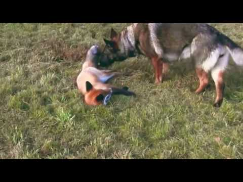 Fox and dog. Fox made friends with the dog