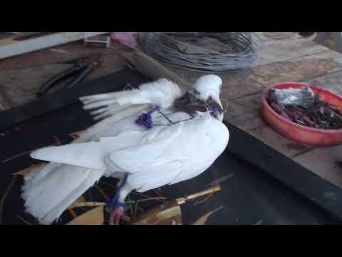 Ловля Ястреба на живца-голубя. Как сделать ловушку/ How To Make A Live Bite On A Hawk, With A Pigeon