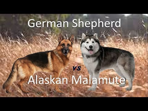 German Shepherd (GSD) Vs Alaskan Malamute (Breed Info and Comparison)