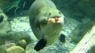 New York Aquarium Pacu | WCS