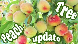 Peach Tree Update - Growing Peaches Fruits Plant - Dwarf Fruit Trees - Organic Gardening - Jazevox