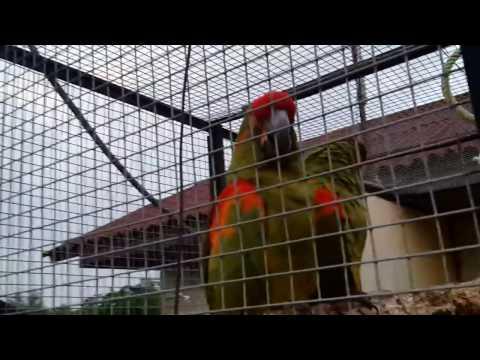Красноухий краснолобый ара / Red-fronted Macaw / Red-cheeked Macaw